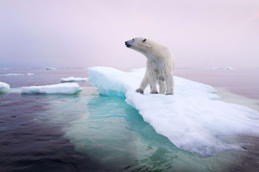 Camilla of Bourbon Foundation - Polar bears and the melting of the ice
